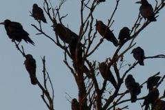 albero-con-corvi