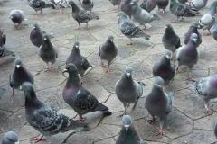 allontanamento-piccioni