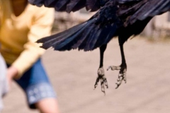 corvi-in-citta