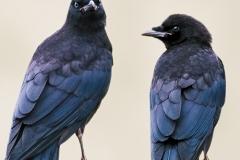 corvi-roma