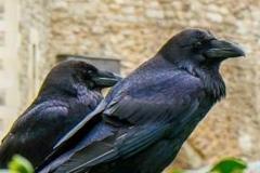 invasione-corvi