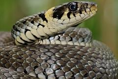 bonifica-serpenti-roma