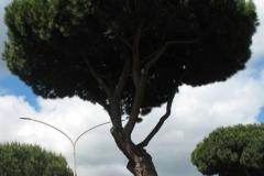 cocciniglia-pini-roma