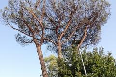 cocciniglia-pino