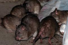 infestazione-ratti