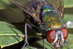 contaminazione-mosche
