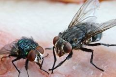 mosche-contaminazione-cibo