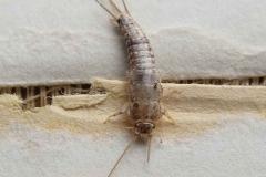 insetto-pesciolino-dargento