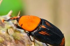 punteruolo-rosso-insetto